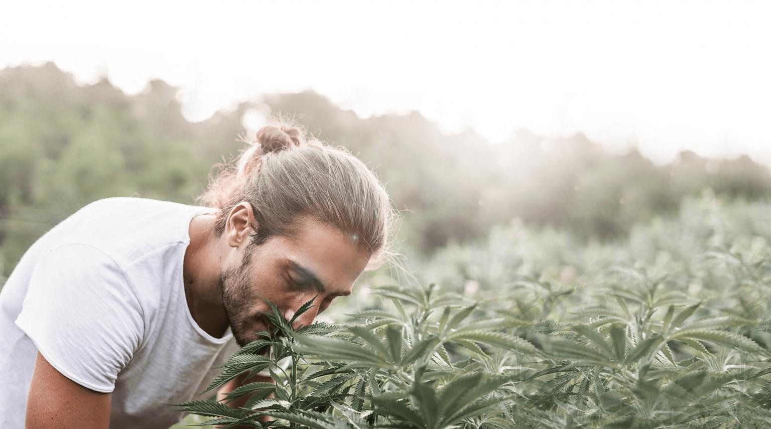 CBD aus einer Cannabis-Pflanze